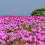 スカスカ芝桜でガッカリ 愛知県で一番高い花畑 茶臼山の芝桜を見てきました
