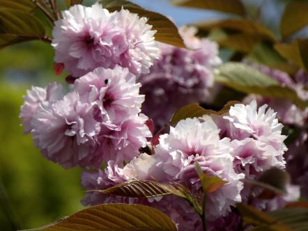 石巻市 日和山公園 八重桜