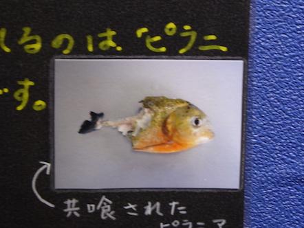 竹島水族館 ピラニア