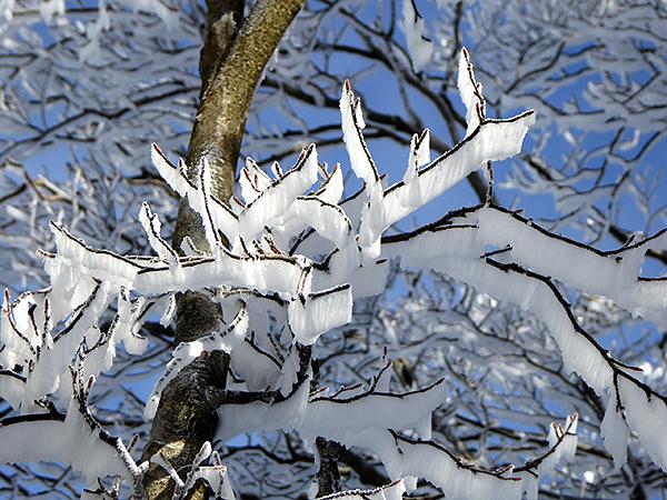 綿向山 表参道コース ブナ林 霧氷