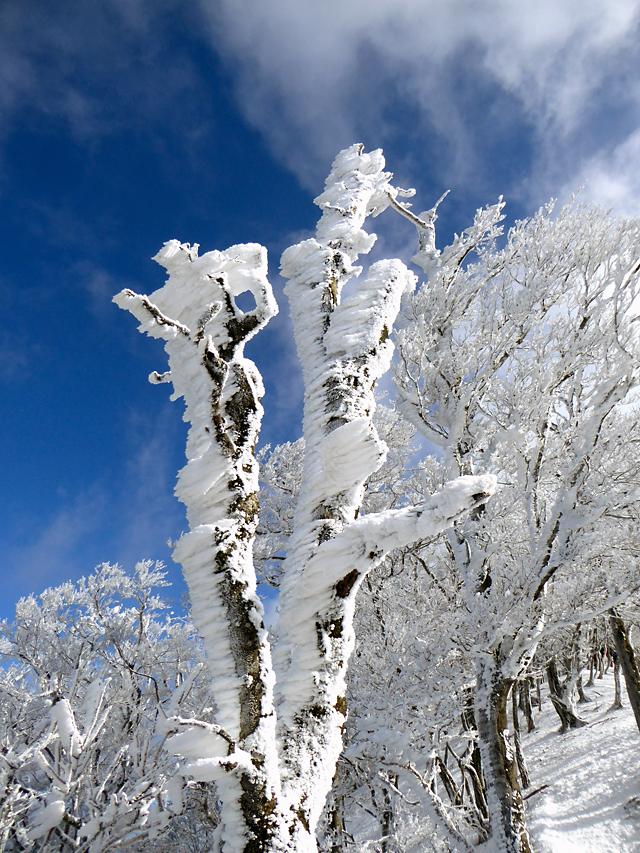 高見山 平野登山道 霧氷 エビの尻尾